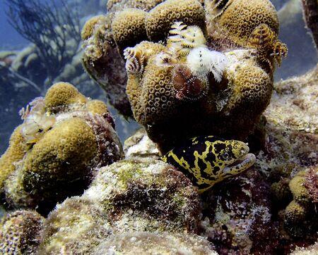 golden chain eel on a tropical underwater reef in bonaire