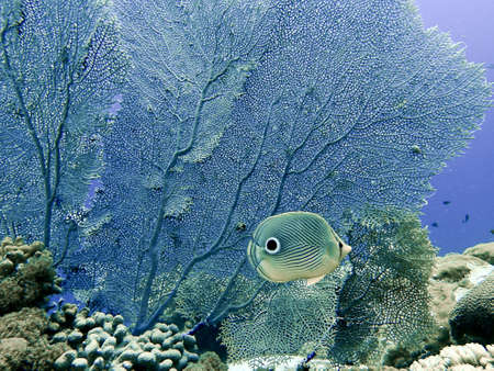 four eyed butterfly flish against a sea fan underwater on a coral reef