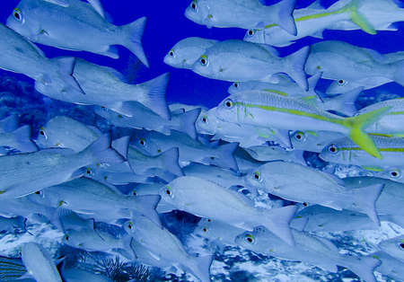 school of fish: school of tropical fish on a coral reef Stock Photo