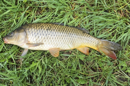 fresh water carp caught laying on a green grass background Stock Photo - 20095343