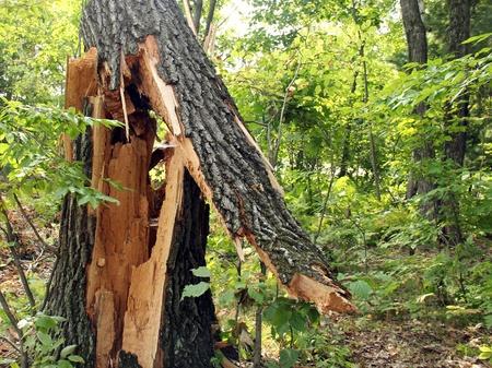 splintered: large oak tree damaged from a wind storm Stock Photo