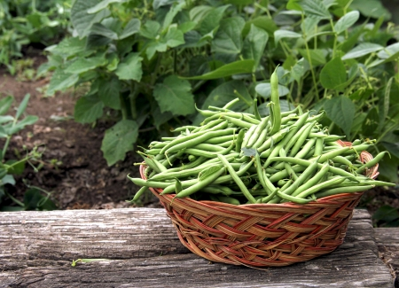 green bean: fresh green beans picked and put in a wicker basket Stock Photo