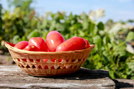 fresh ripe tomatoes in a basket with the garden in the background Reklamní fotografie