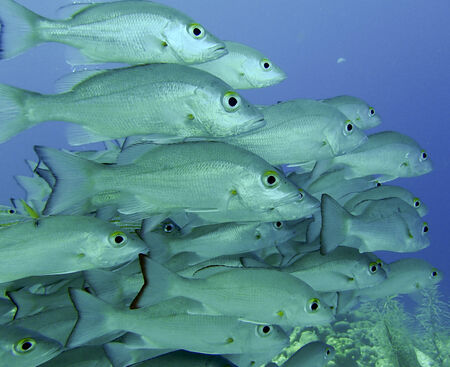 jacks: School of Big Eyed Jacks on a tropical reef Stock Photo