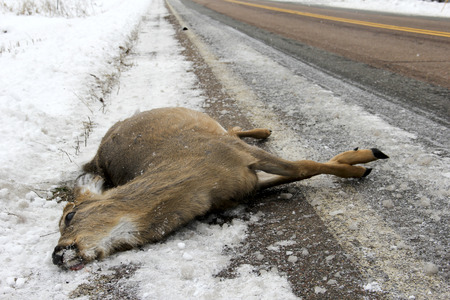 accident dead: Dead deer lying on the winter highway after a car crash