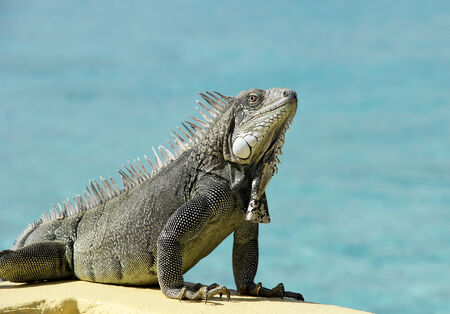 bonaire: Wild Iguana from the Island of Bonaire on a sea wall with the tropical ocean as the blue background