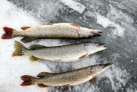 ice fishing: Northern Pike caught ice fishing laying on the ice Stock Photo