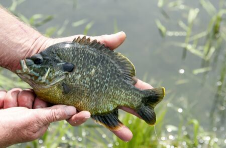 bluegill: Sunfish being held for a close up with a lake in the background