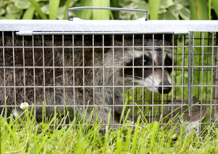 animal trap: Raccoon or Procyon Lotor is caught in a live trap to prevent harm to the animal