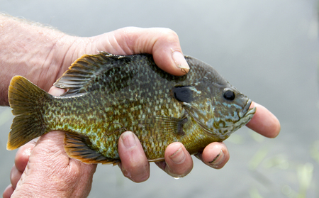 bluegill: Bluegill close up after being caught fishing with the lake as the background. Stock Photo