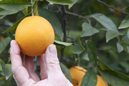 pluck: Close up of a hand picking a ripe orange from a fruit tree Stock Photo