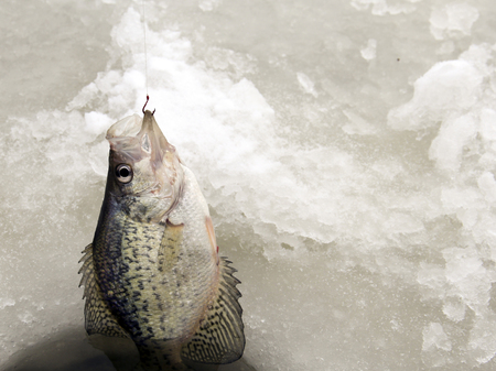 hooked: Crappie hooked and being pulled out of an ice fishing hole