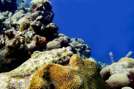 reef fish: Flounder fish on a coral reef on the ocean floor Stock Photo