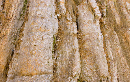 bark background: Sequoia tree bark from an old tree makes a Sequoia tree background