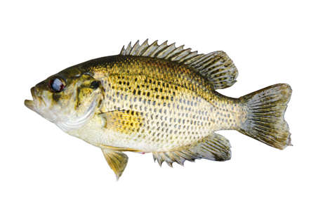 sunfish: Rock Bass (Ambloplites Rupestris) isolated over a white background with a clipping path at original size