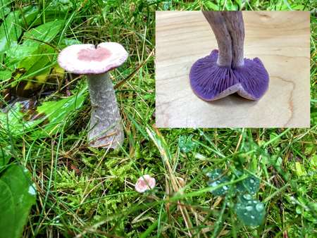 fungi: Blewit mushroom with insert of gills for Fungus identification Stock Photo