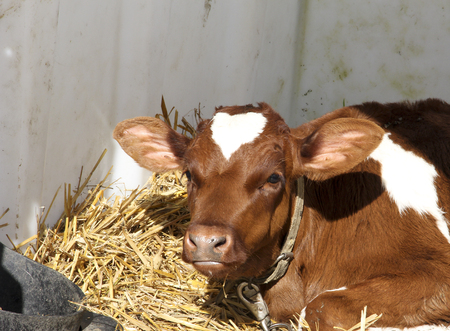 enclosure: Young calf in an enclosure selected for Veal meat Stock Photo
