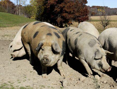 cerdos: Varios cerdos de granja de enraizamiento en un corral de cerdos Foto de archivo