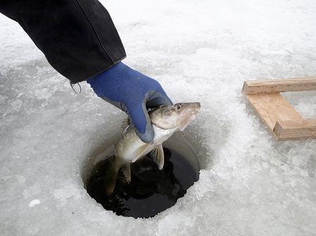 walleye: Walleye caught while ice fishing pulled from the hole Stock Photo
