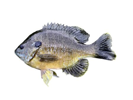 bluegill: Bluegill isilated over a white background with a clipping path at original size
