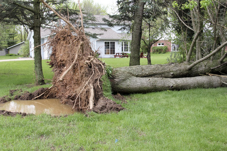 Tree is down in a yard from a wind storm
