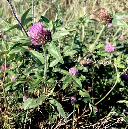 red clover: Wild Red Clover growing in the Wisconsin Wilderness