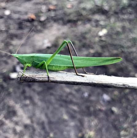 녹색 메뚜기 가까이 흐려 배경으로 막대기에 스톡 콘텐츠