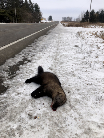 Dead Fisher hit by a vehicle laying on the side of the Highway