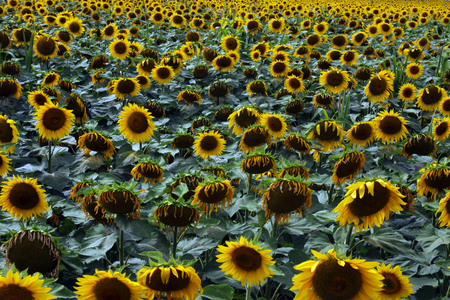 Sunflowers fill a field for a Flower background Banco de Imagens