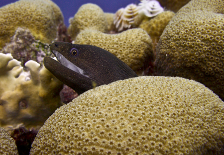 Goldchain Eel on an underwater Coral Reef