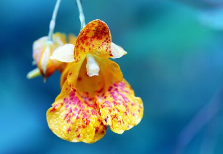 Jewelweed Blossom macro closeup in the wilderness with blurred background Standard-Bild - 131692427