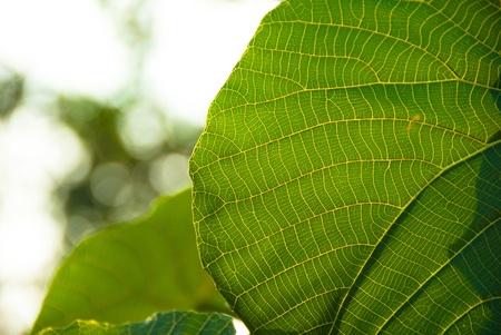 lotus leaf: The sun is blocked by Lotus leaf,