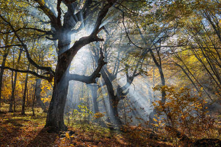 Sun rays in the autumn beech forest with gnarled trees