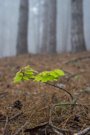 Green beech sprout in a misty forest