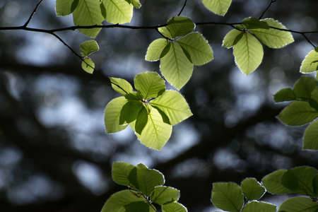 Fresh beech leaves in the spring forest