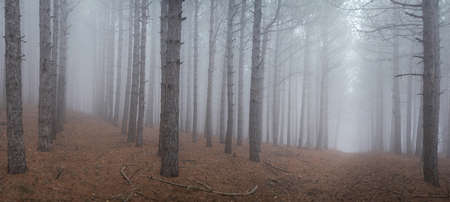 Mysterious pine forest in the fog panoramic Standard-Bild