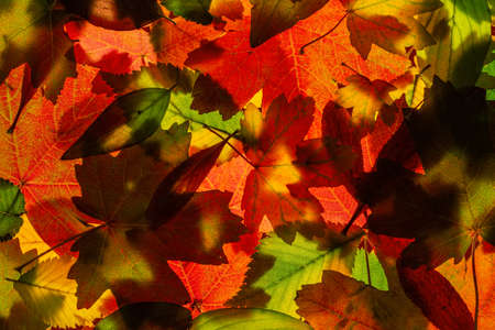Full-screen texture of a pile multicolored backlited autumn leaves