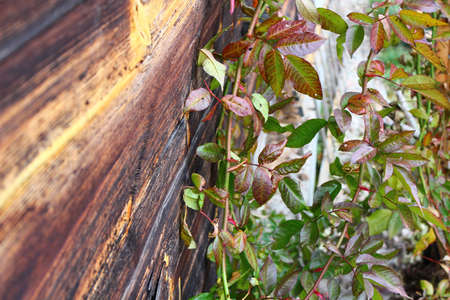 rosebush: rosebush on a wooden plank background
