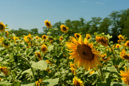 Close view of sunflower in field with clear blue sky on background Stok Fotoğraf