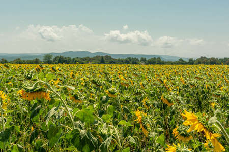 Field of sunflowers with blue sky on background