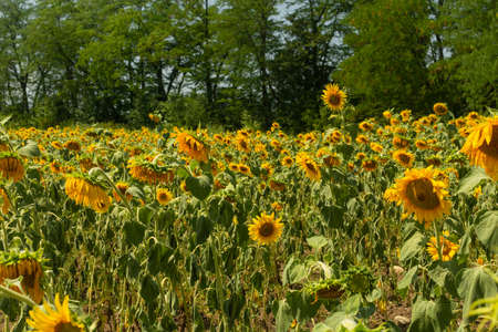Field of sunflowers with green forest on background