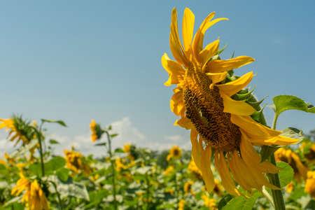 Macro view of sunflower in field with clear blue sky on background
