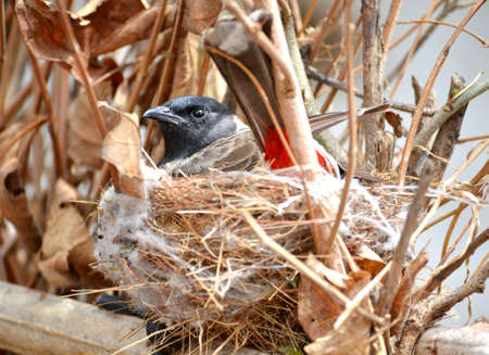 bhopal: A red vented bulbul laying her eggs  Photo clicked on Sunday 10th June 2012 Stock Photo