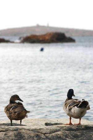 Two ducks enjoying the view.... Stock Photo - 204698