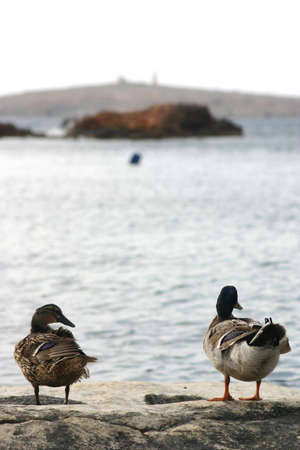 Two ducks enjoying the view.... Stock Photo - 204698