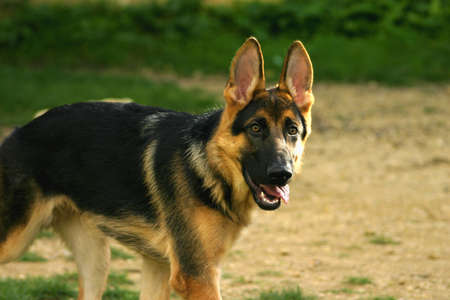 A German Shepard dog, with no lead. Stock Photo