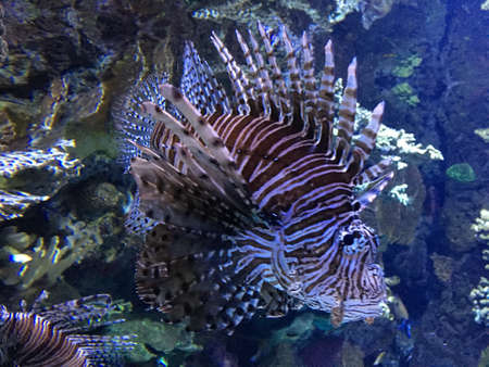 Lion fish swimming in a tank with other aquatic animals, clear water Stock Photo