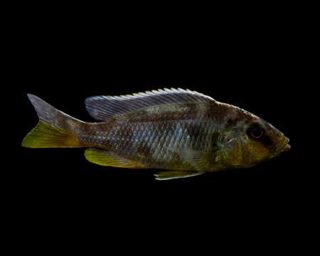 cichlid: African Cichlid
