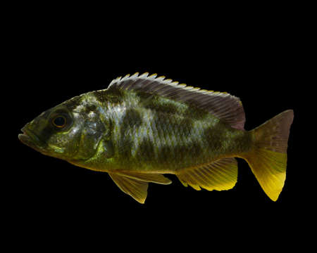 cichlid: African cichlid isolated on a black background