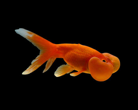 Bubbleye goldfish isolated on a black background photo